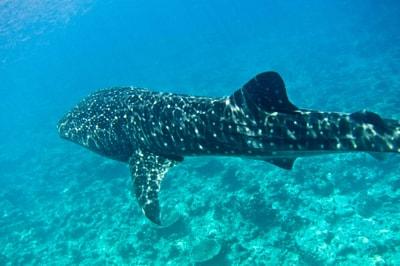 Whaleshark Trip